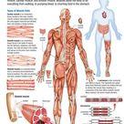 Human Body: Muscular System
