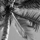 Palm Tree in Black & White