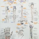 ambitions like ribbons — Anterior thorax and upper limb bones