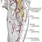 Popliteal artery   Popliteal artery   Wikipedia, the free encyclopedia