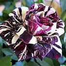 Rare Black Dragon Rose Flower Seeds Garden Plant, Buy 2 Get 15% Discount  | eBay
