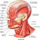 Muscle Identification