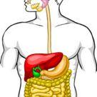 Digestive System Unlabeled Digestive System Diagram Unlabeled Human Anatomy Diagram - yogarsutra