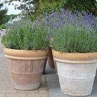 Lavender in bloom - Bergius Botanic Garden