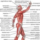 human muscle system   Functions, Diagram, & Facts