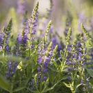 How to Use Lavender as a Creeper in the Lawn