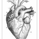 A2 Poster. Human Heart Anatomy 1888