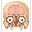 A1 Poster. Normal coronal section of the skull and brain showing