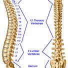 Spine, Spinal Column, or Vertebral Column