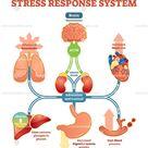 Stress response system vector illustration diagram