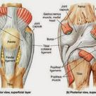 Anterior and posterior aspects of the knee - Netter