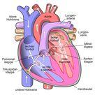 Hypertrophe Kardiomyopathie – Wikipedia