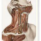 Box Canvas Print. Neck vascular anatomy, historical artwork
