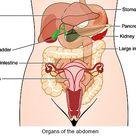 Human Abdomen | Understanding The Abdomen, Organs, Diseases & Treatment