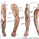 arm muscle map, needs corrections