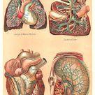 Vintage Medical Clip Art: Human Body Graphic of 4 Human Internal Organs