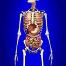 1000 Piece Puzzle. Male skeleton with internal organs on blue