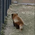 Dancing red panda swiggity swooty - GIF