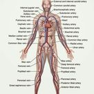Circulatory System - The Definitive Guide   Biology Dictionary