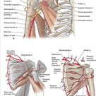 Chapter 30. Shoulder and Axilla   The Big Picture Gross Anatomy   AccessMedicine   McGraw Hill Medical