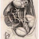 1819 HUMAN ANATOMY print original antique medical viscera innards engraving - blood vessels in a fetus