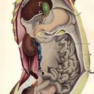 Female Human Body Vertical Section Anatomy Chart Femme Fatale 1920s