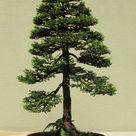 Bonsai Tree | Seed Grow Kit - Coast Redwood