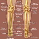 Leg Bones - Medical Art Library