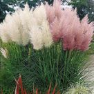 Different colors of PAMPAS GRASS cortaderia selloana 100   Etsy