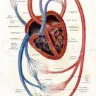 Schema des Blutkreislaufs beim Menschen - Quagga Illustrations