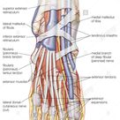 Dorsal view of the right foot, showing the major muscles, tendons, and nerves Stock Photo - Alamy