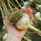 Harvesting Garlic