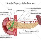 Pancreas blood supply labeled: Royalty Free #22841490