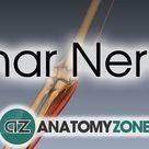 Ulnar Nerve | 3D Anatomy Tutorial