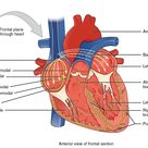 19.2 Cardiac Muscle and Electrical Activity    Anatomy and Physiology   OpenStax