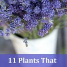 Plants That Repel Mosquitoes