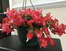 2 White/Pink/Red Christmas ThankGiv Cactus Zygo Schlumbergera Rooted live plant   | eBay