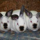 Grand Champion Meat Pen Rabbits