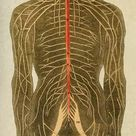 10 inch Photo. Human nervous system