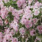 Daid Cotinifolia | Pompom Tree | Plants A-Z | The Gardner