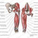 Hip and thigh anatomy