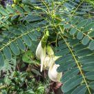 White Sesbania grandiflora Aeschynomene Agati hummingbird 10 - 30 hand picked seeds