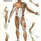 Human Muscle Surface Anatomy Landmarks Upper Body Poster - 24