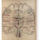 Box Canvas Print. Brain section