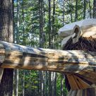 Giant Trolls   Coastal Maine Botanical Gardens