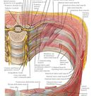 Innervation of Abdomen and Perineum
