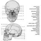 Skull Anatomy Unlabeled