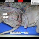 Fetal Pig Dissection Pictures