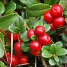 Vaccinium Vitis - Red Candy - Lingonberry - Live Plant 5-7 Inch