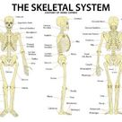 Art Print: The Skeletal System Anatomy and Physiology Science Chart, 3